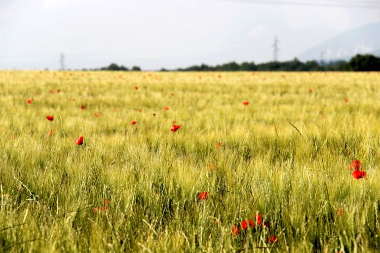Red poppies growing on field
