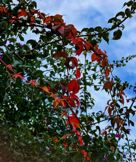 Low angle view of red berries on tree against sky