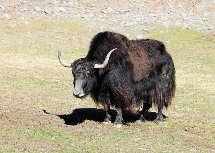 Close Up of a Yak at Orana Wildlife Park, Christchurch, New Zealand. Bos Grunniens Travel Yak Animal Themes Attraction Black Conservation Day Education Grass Mammal Nature No People One Animal Orana Wildlife Park Outdoors