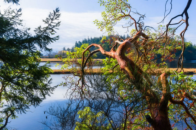 Arbutus Tree Madrona Tree Beauty In Nature Branch Day Growth Lake Nature No People Non-urban Scene Outdoors Plant Scenics - Nature Sky Tranquil Scene Tranquility Tree Tree Trunk Trunk Water