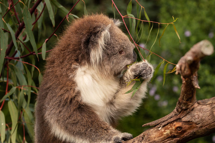 Koala Animal Themes Mammal Animal One Animal Plant Animal Wildlife Animals In The Wild Tree Vertebrate No People Primate Branch Focus On Foreground Day Nature Close-up Plant Part Outdoors Leaf Animal Head  Jason Gines Koala Koala In Tree Gum Tree Koala On Gum T Cute Wild Koala