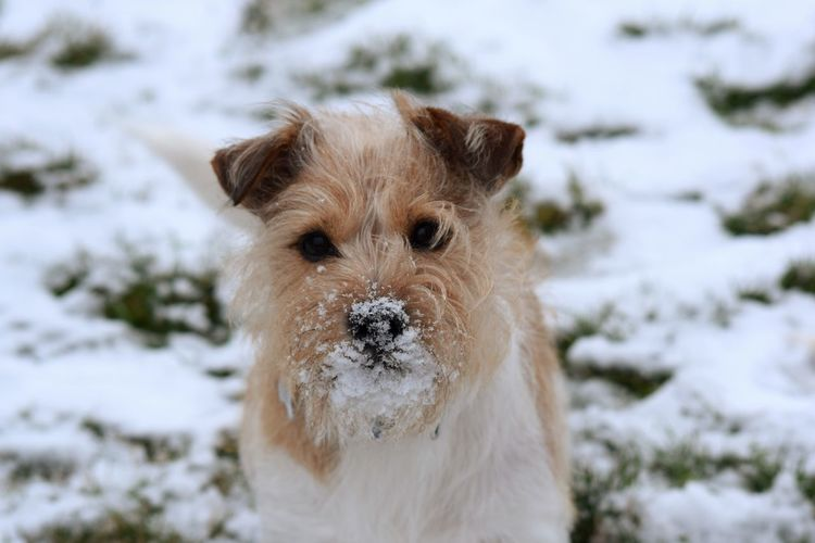 jack Russell Dogs Of Winter Love Dogs Dogs Of EyeEm Winter Jack Russell Snow Content Shaddow And Light Shaddow In Light