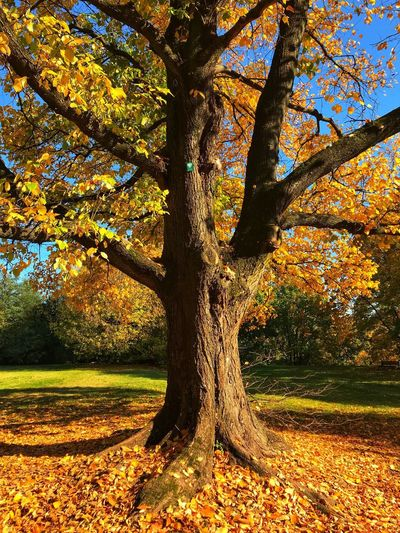 Fall time 03 Falling Leaves Tree Plant Beauty In Nature Growth Nature Land Trunk No People Tree Trunk Tranquility Scenics - Nature Sunlight Autumn Outdoors Landscape Idyllic Tranquil Scene
