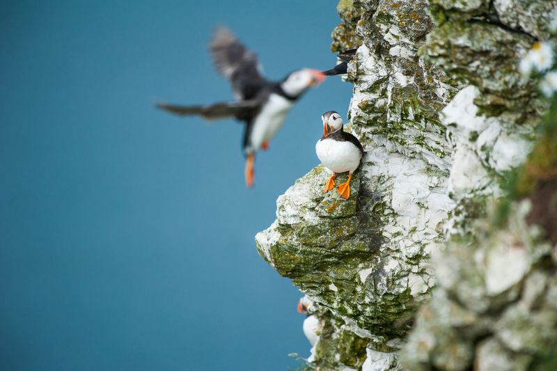 Bird Photography Birds Birds Of EyeEm  Cliff Cliffs Puffin Puffins Seabird Of The Year 2016 Seabirds A Bird's Eye View The Great Outdoors - 2017 EyeEm Awards