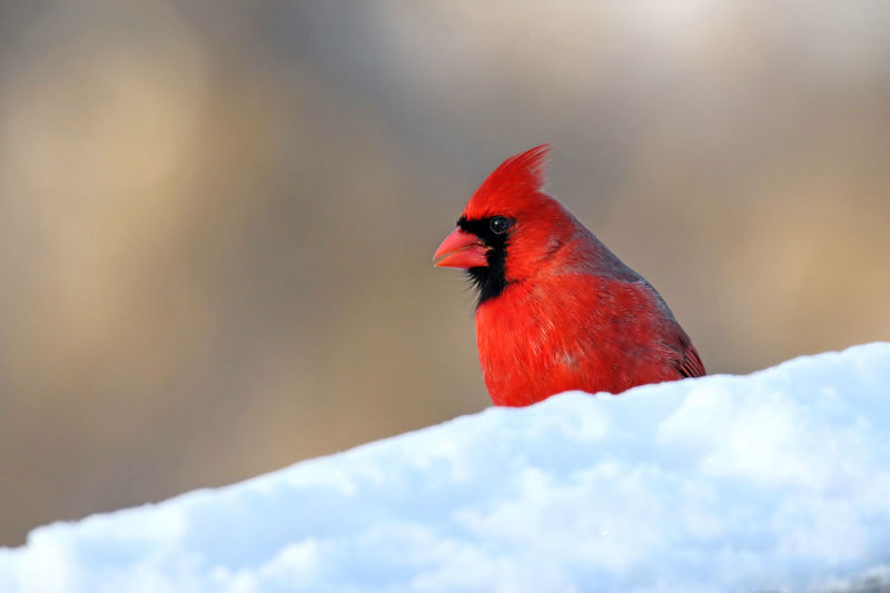Close-up of northern cardinal in snow