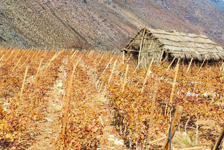 Grape vines used for making pisco in the Elqui Valley near Vicuna, Chile Andes Andes Mountains Arid Arid Climate Chile Desert Elqui Elqui Valley Grape Grapes Latin America Mountain Mountain Range Pisco South America Tourism Travel Travel Destinations Vicuña Vineyard