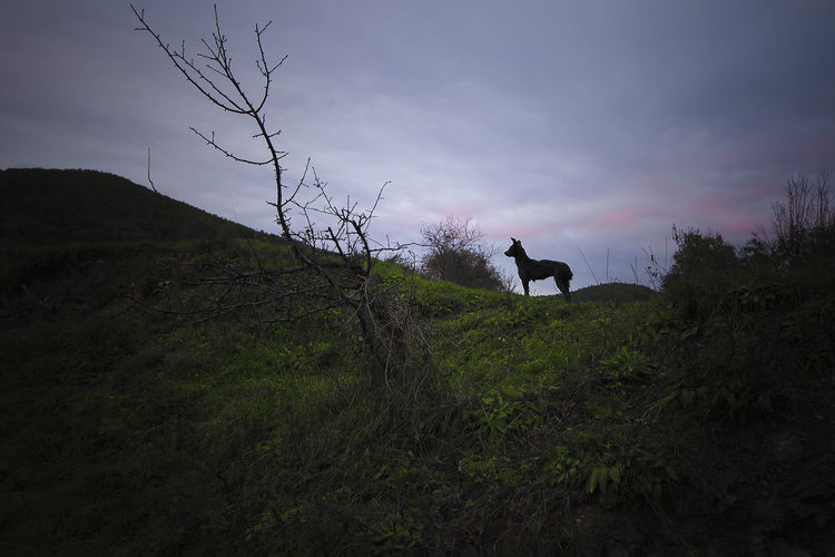 Low Angle View Of Silhouette Dog On Hill Against Cloudy Sky
