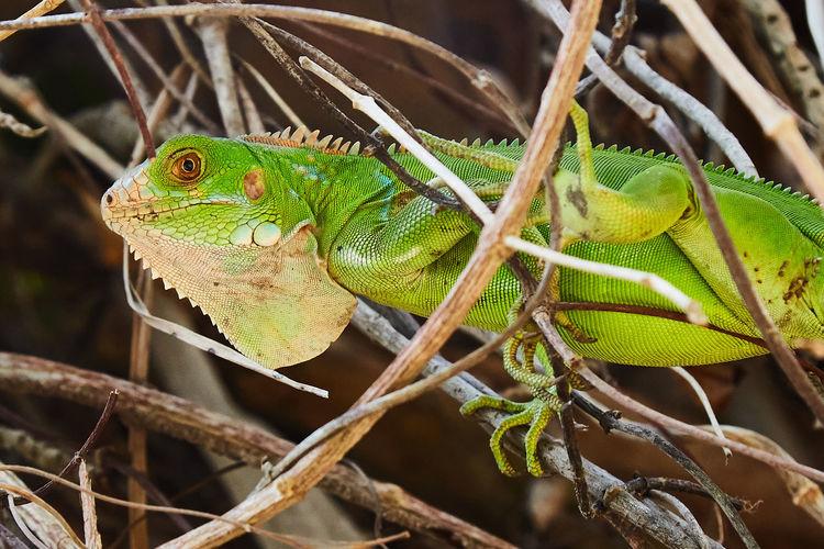 Verde rabioso Animal Themes Animal Animals In The Wild Animal Wildlife One Animal Close-up Reptile Lizard Nature Green Color Animal Body Part Animal Head  Iguana