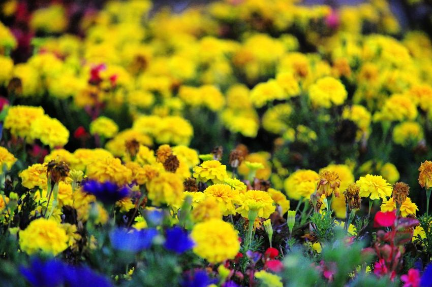 Autumn flowers Naturephotography Beautifulnature Beautyofnature Naturebeauty Moment Capture Composition Marijampolė Vytautoparkas Autumn Autumncolors🍁 Nature Flower Head Flower Yellow Multi Colored Close-up Plant Blooming Blossom Plant Life Yellow Color Botany In Bloom