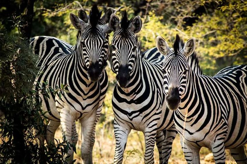 Zebras Zebra Around The World South Africa Gautengprovince Dinokeng Nature Wildlife Safari Wildlife Photography Eyem Nature Lovers  Eyem Nature