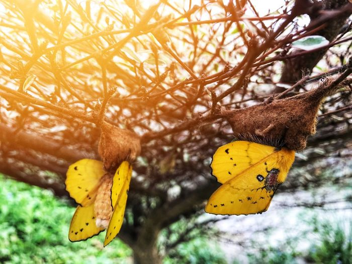 Yellow butterfly is about to leave the birth of a Life cycle of butterflies Yellow Nature Tree Focus On Foreground Branch Close-up Leaf Outdoors Beauty In Nature Hanging Animal Themes Nuiecircle Butterfly Butterfly - Insect Insect Pupa Tree Life Born To Be Wild New Life
