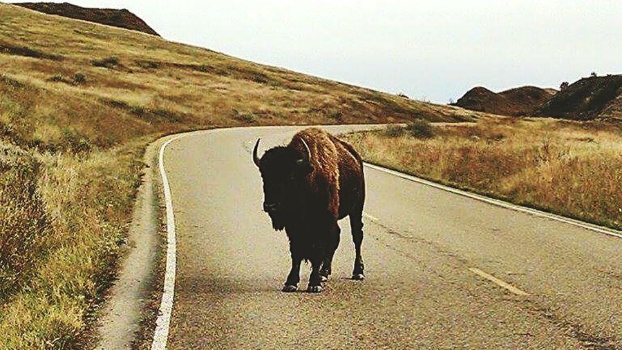 American Bison Theodore Roosevelt National Park North Dakota Badlands