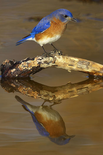 Close-up of male eastern bluebird perching on twig in water