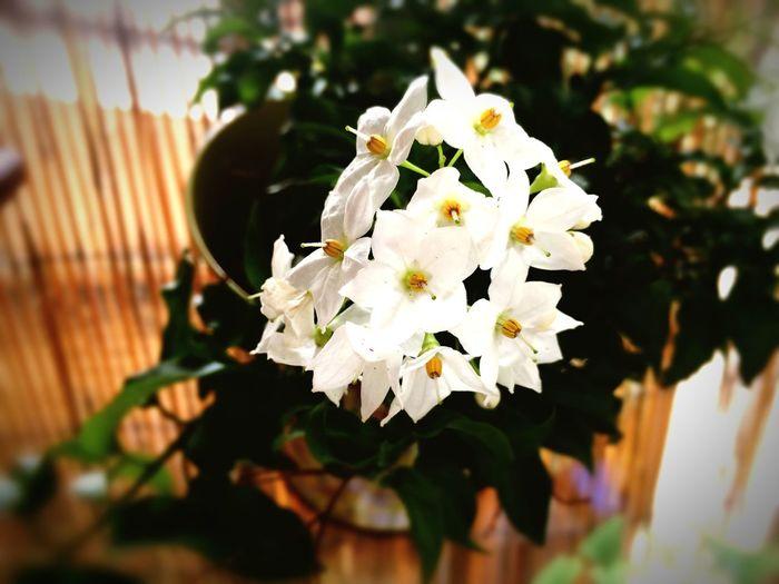 Jasmin blüht den ganzen Sommer über Flowers