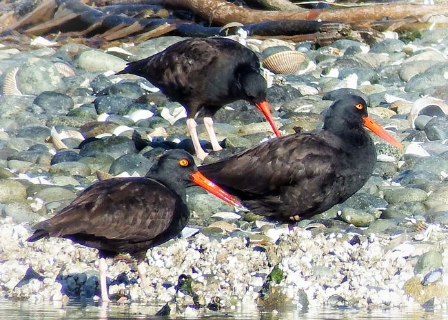 """Trio of red beaks"" Oyster Catchers Animal Themes Animal Wildlife Animals In The Wild Beak Bird Black Color Lake Nature No People Outdoors Water"