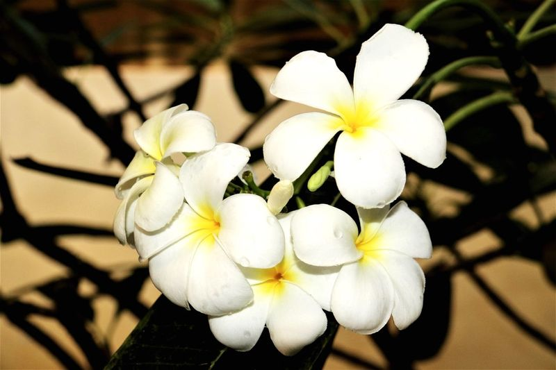 Flower Petal White Color Flower Head Fragility Freshness Beauty In Nature Nature Focus On Foreground Close-up Growth Blooming Frangipani No People Day Outdoors