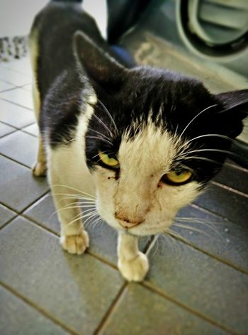 Mr. Sylvester Grumpy Cat Naughty Cat