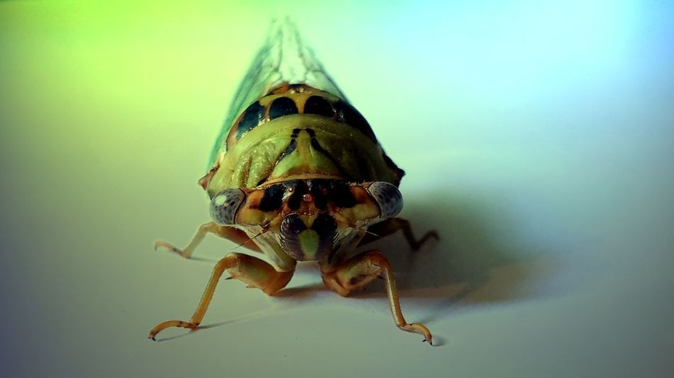 Oklahoman Cicada Cicada Insect Collection Animal Themes Animal Wildlife Animals In The Wild Close-up Day Insect Photography Nature No People One Animal Outdoors The Creative - 2018 EyeEm Awards