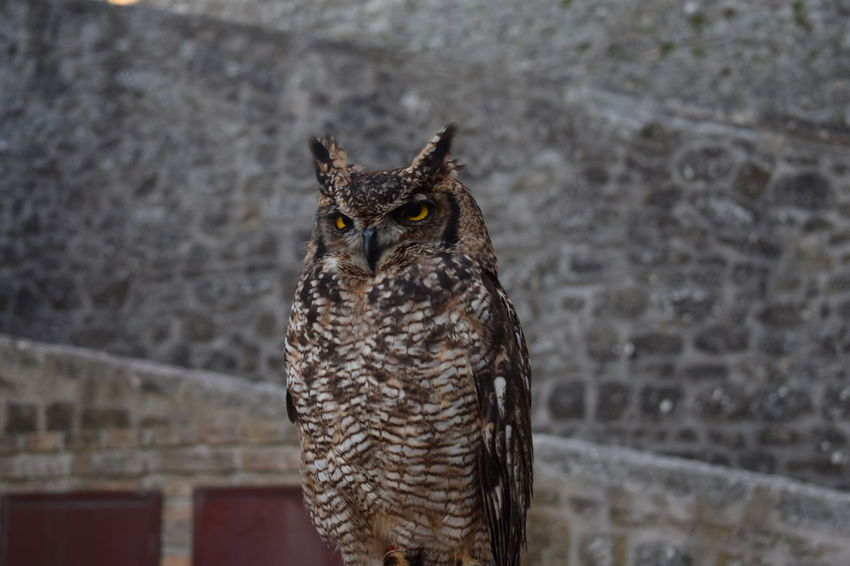 Animals In The Wild From My Point Of View Gufo Nature Nature Photography Owl Art Owl Portrait. Wildlife & Nature Animal Animal Wildlife Nature_collection Nature_perfection Owl Owl Eyes Owl Photography Owls Perfect Perfection Wildlife Pet Portraits