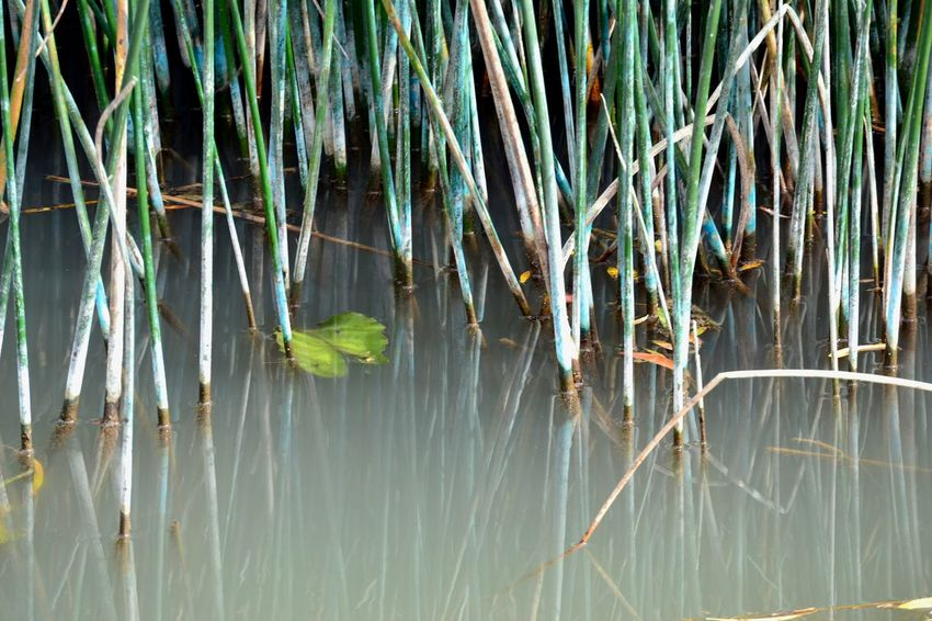 Water Reeds EyeEmNewHere Animal Themes Beauty In Nature Close-up Day Grass Green Color Growth Lake Nature No People Outdoors Plant Tranquility Water Water Reeds