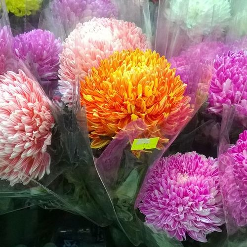 かわいい菊さん好きなの