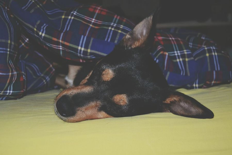 Good night little thing Dog Nikon Check This Out Photography Sleeping Relaxing