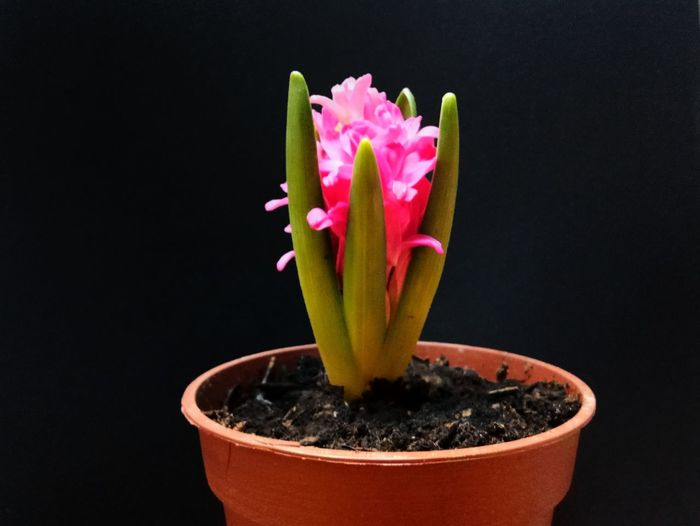 Hyacinth Black Background Plant No People Growth Indoors  Flower Studio Shot Day Close-up Nature Freshness