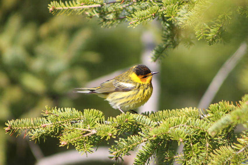Cape May Warbler Animal Themes Animal Wildlife Animals In The Wild Beauty In Nature Bird Branch Cape May Warbler Close-up Day Growth Nature No People One Animal Outdoors Perching Plant Robin Saguenay, Québec, Canada Tree EyeEmNewHere Pet Portraits Paint The Town Yellow
