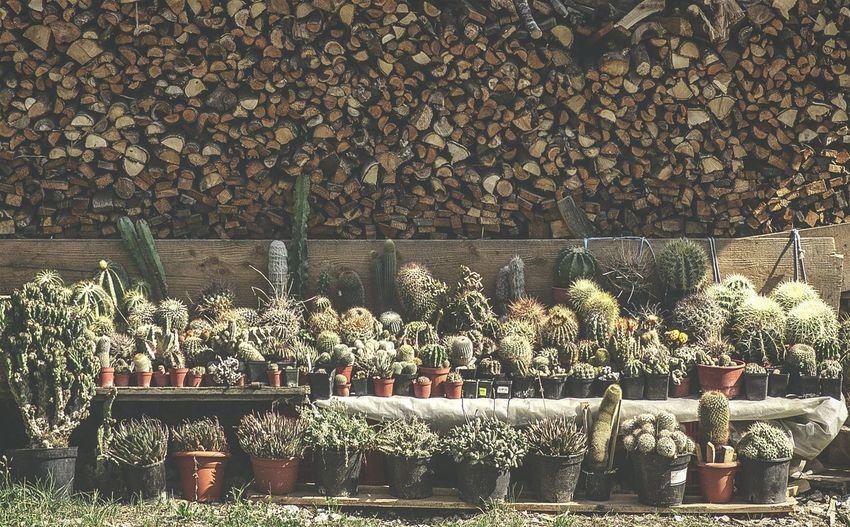 Cacti For Sale