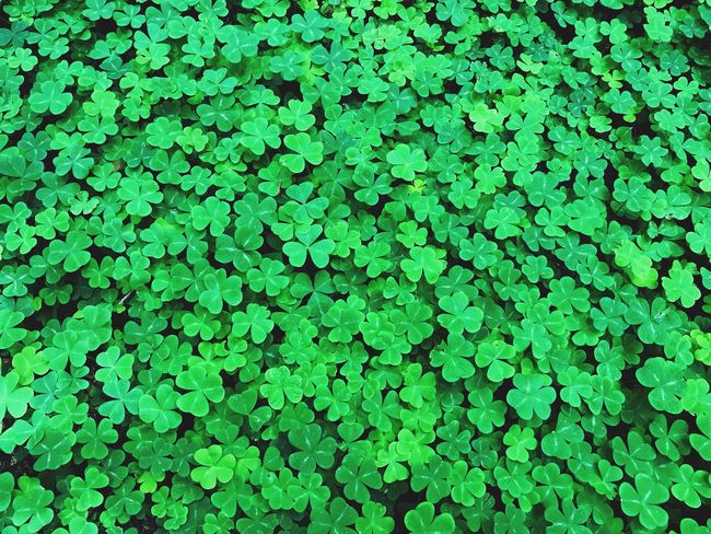 Abundant green shamrock which is a young sprig, used as a symbol of Ireland. Green Color Full Frame Growth Plant Backgrounds Day Nature No People High Angle View Beauty In Nature Leaf Plant Part Freshness Outdoors Foliage Abundance Lush Foliage