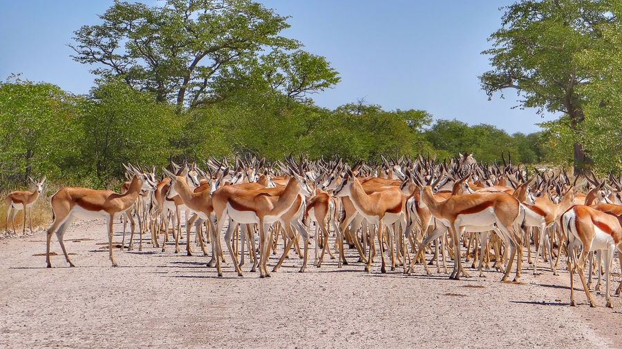 Herd of springbok on field at etosha national park