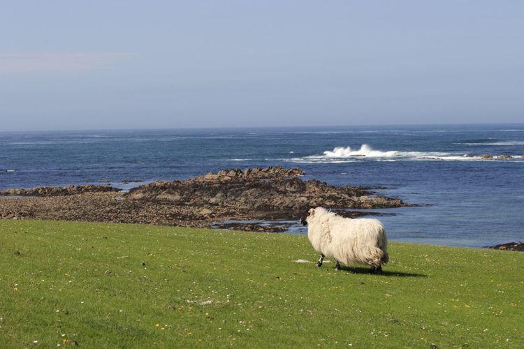 Sheep on the coastline.