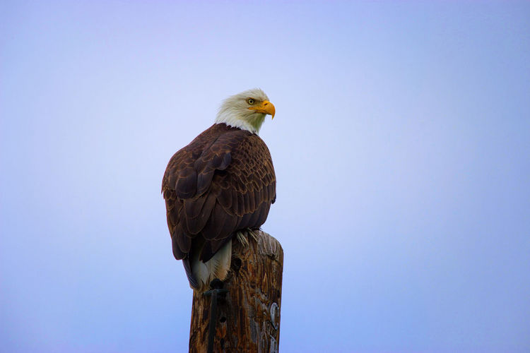 These birds are stunning! EyeEmNewHere Alaskawildlife Kodiak, Alaska Animal Themes Animal Wildlife Animals In The Wild Bald Eagle Beak Beauty In Nature Bird Bird Of Prey Clear Sky Copy Space Day Eagle - Bird Eaglephotography Low Angle View Nature No People One Animal Outdoors Perching Sky EyeEmNewHere
