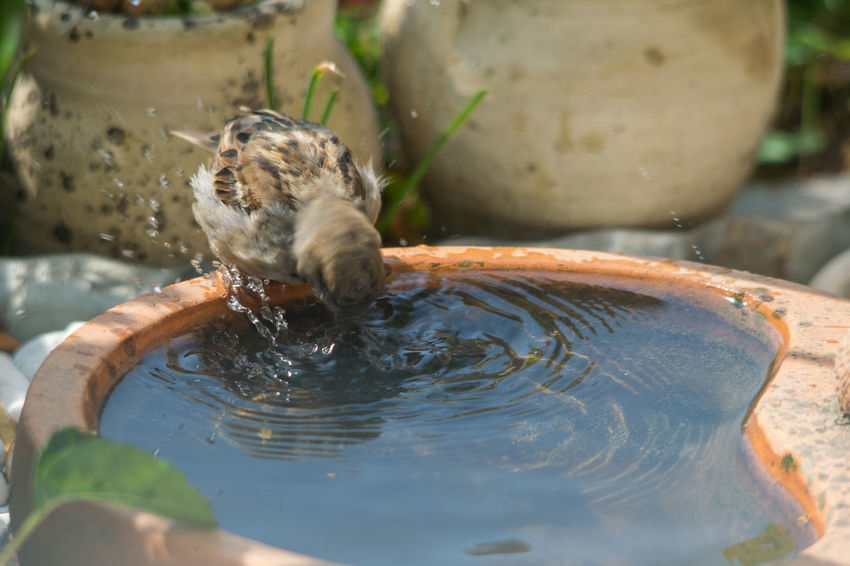 Vogeltränke - Durst stillender Sperling Sperling Heißer Tag Vogeltränke Aufspritzendes Wasser Kreisförmige Wellen Vogel Trinkend Hockend Spiegelung Sparrow Hot Day Spraying Water Circular Waves EyeEm Selects Water Drinking Close-up