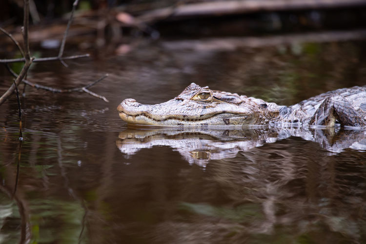 Close-up of crocodile in water