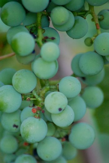 Grapes Concord Grapes Unripe Fruits Fruit Vinyard Close-up Macro Photography Outdoors