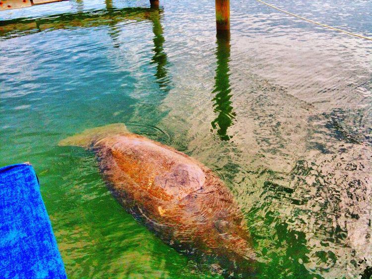 Miami FL Usa 🇺🇸☀️ Manatee Taking Photos Sea EyeEm Team Miami Seascape USA Bestoftheday Florida Manatees