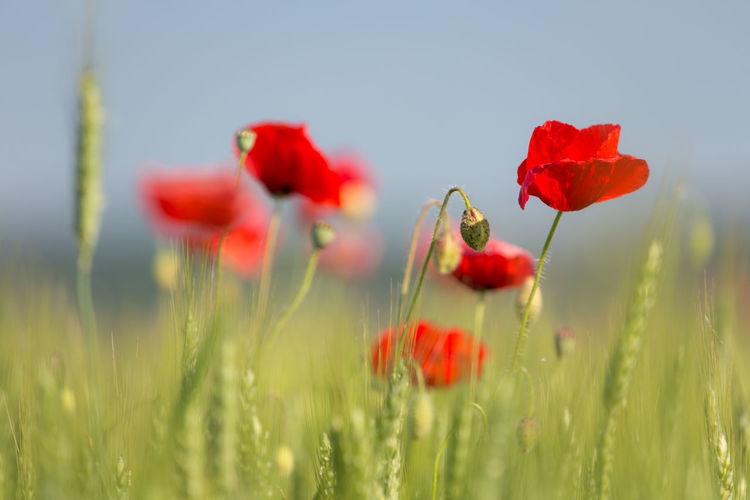 Close-up of red poppy blooming on field against sky