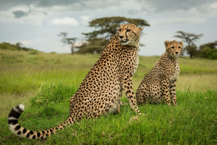 Cheetah sits near cub on grassy mound