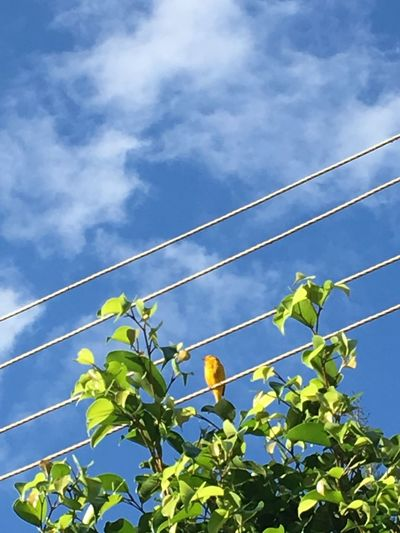 Canário da terra Low Angle View Sky No People Nature Outdoors Tree Leaf Day Cable Cloud - Sky Vapor Trail Beauty In Nature Contrail