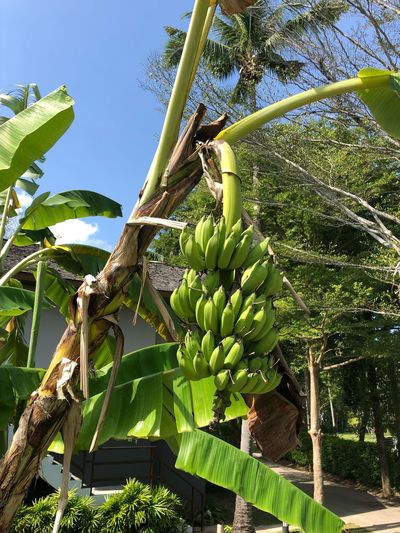 Green bananas Bananas Banana Plant Growth Green Color Nature Sunlight Tree Day Banana Tree Tranquility Outdoors Banana Sky Plant Part Low Angle View Leaf No People Agriculture Beauty In Nature Freshness Food And Drink