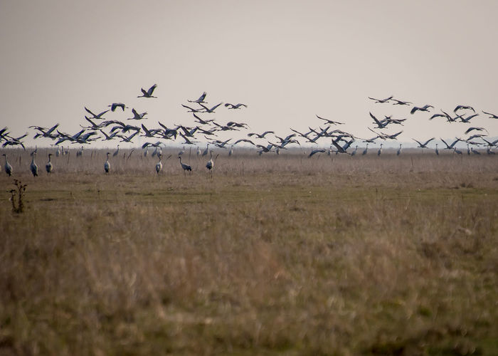 cranes birds