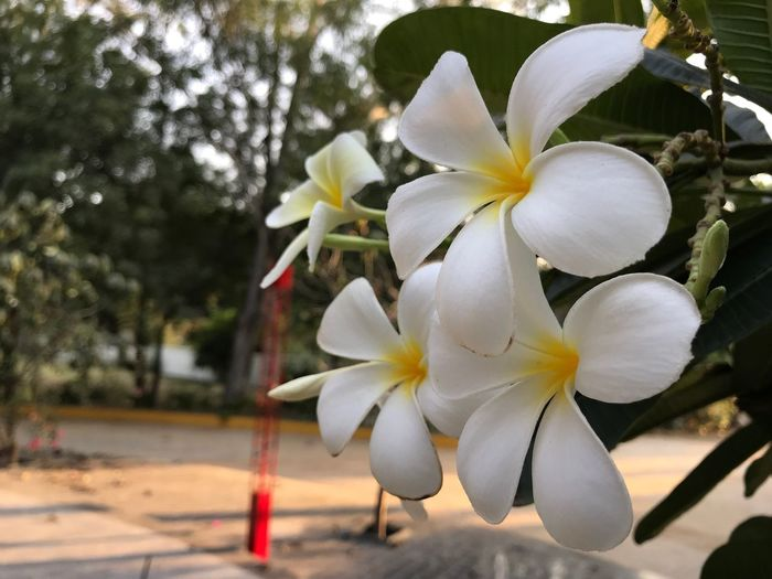 Flower Petal Fragility Beauty In Nature Flower Head Growth Nature White Color Freshness Focus On Foreground Day Close-up Blooming Outdoors No People Tree Springtime Frangipani Periwinkle