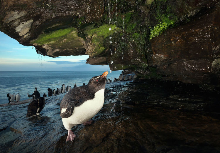 Penguin drinking water falling from rock at beach