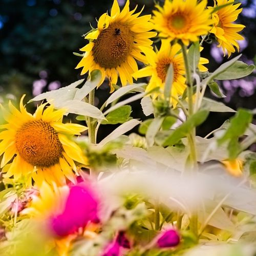 Flower Nature Yellow Plant Petal Fragility Flower Head Beauty In Nature Sunflower Growth Freshness Purple Close-up Uncultivated No People Outdoors Summer Multi Colored Day Black-eyed Susan Riepe Emden EyeEm Nature Lover Sigma 60mm Art A6000photography The Week On EyeEm