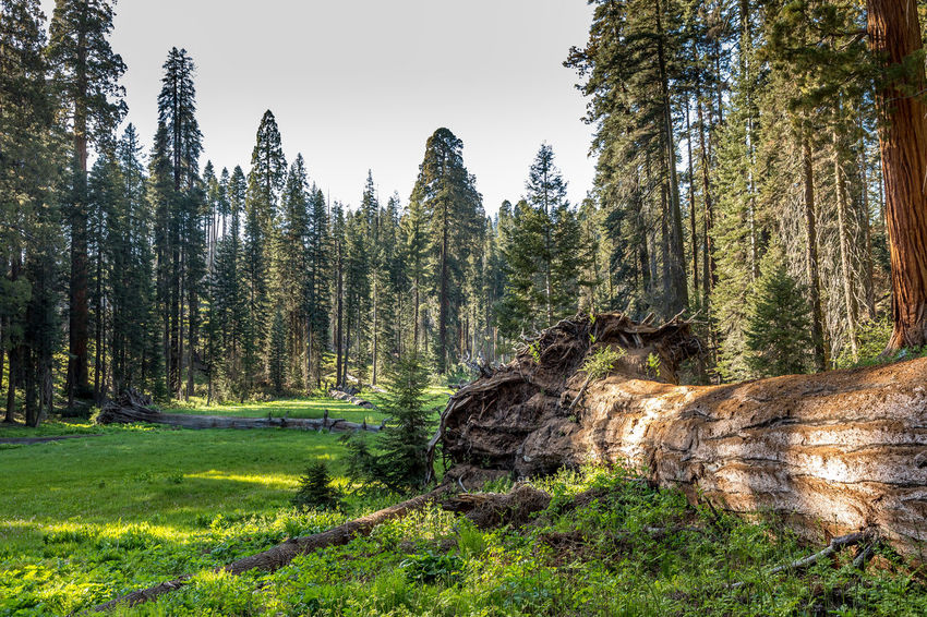 Sequoia National Park, Crescent Meadows California National Park Sequoia Sequoia National Park Tree USA Bark Beauty In Nature Day Environment Forest Grass Green Color Growth Land Nature No People Non-urban Scene Outdoors Plant Scenics - Nature Sky Tranquil Scene Tranquility Tree Tree Trunk Trunk WoodLand