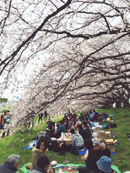 お花見 Flowers Cherry Blossoms