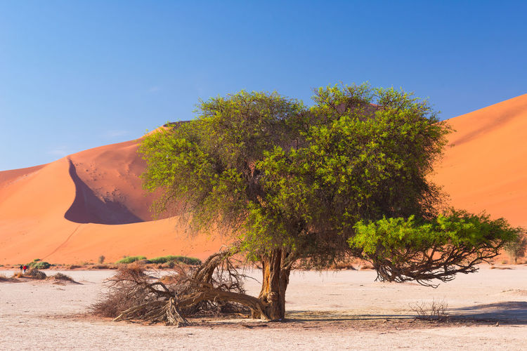 Trees on desert against clear sky
