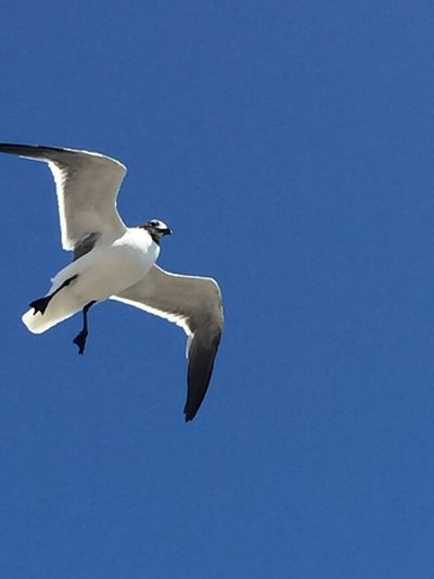 Fly Natura Caraibi Flying Animals In The Wild Bird Vertebrate Animal Themes Spread Wings Low Angle View
