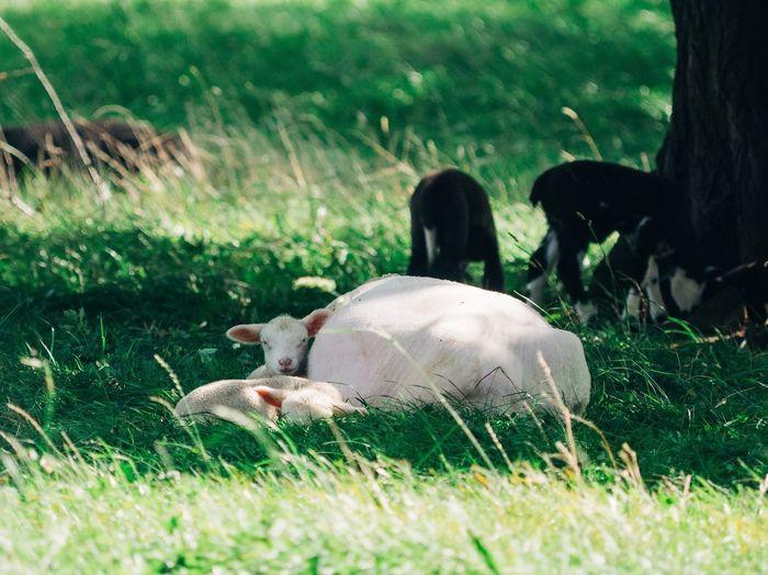 Sheepherd Sheep